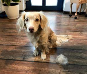 Hundebürste: Hunde- oder Katzenbesitzer kennen das Problem: Zwei mal im Jahr schleichen sich mehrmals täglich kleine Teddyhamster durch die Wohnung.