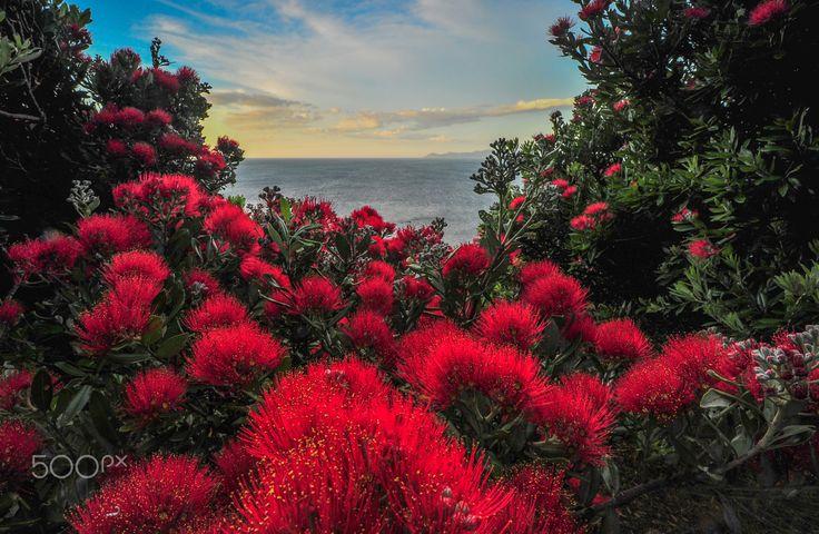 Pohutukawa Flowers - Pohutukawa Flowers in Summer over the Kapiti Coast North of Wellington New Zealand