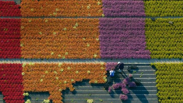 Aerial view of a flower farm, North Rhine-Westphalia, Germany ... Though not a food crop, flower farming is big business, with plants either shipped out still-living to be replanted by the consumer, or cut and destined to end up wrapped in tissue on a florist's counter. (A bouquet would go well with a hastily scribbled card, because you forgot it was your anniversary again, didn't you?)