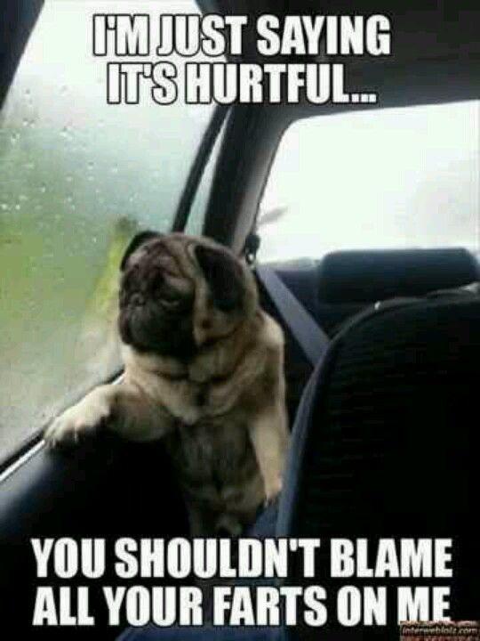 Funny dogs dog pug farts
