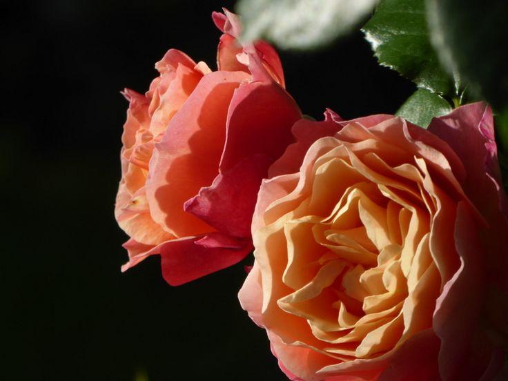 17 best images about flowers i got in my garden on. Black Bedroom Furniture Sets. Home Design Ideas