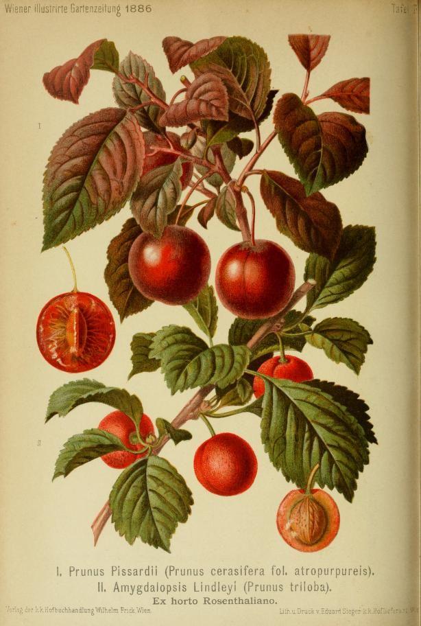 Jahr 11 1886 Wiener Illustrirte Garten Zeitung Biodiversity Heritage Library Vintage Botanical Botanical Biodiversity