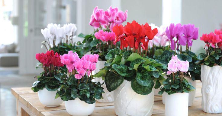 zimmer alpenveilchen pflanzen pflege f r drinnen drau en. Black Bedroom Furniture Sets. Home Design Ideas