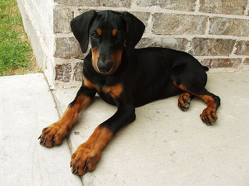 I am a lover of Doberman puppy paws! Look at them. Love the stumpy toe wiggle butt!!!!!!