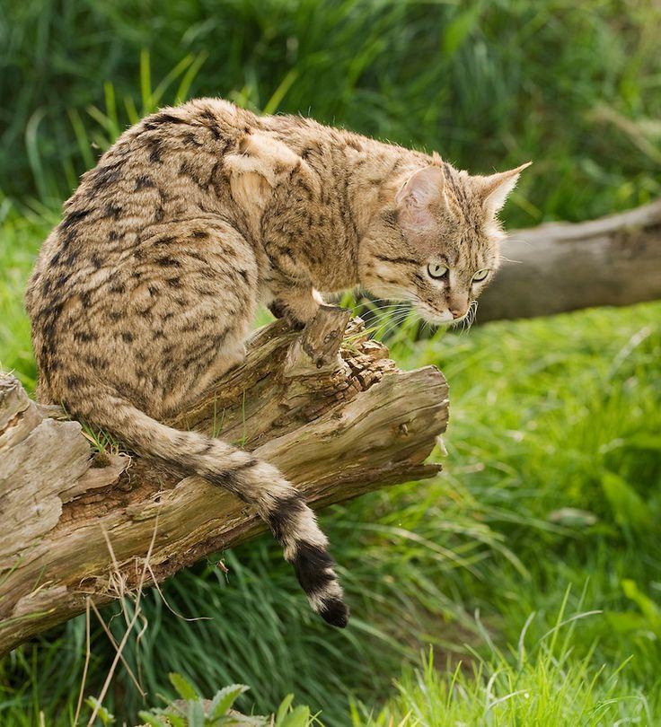 leopard cat breed