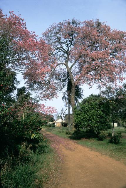 Camino y lapachos - Corrientes