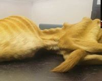 Dog left to starve to a skeleton - just 1 day left to sign Petition ~ Please needing more signatures Thanks