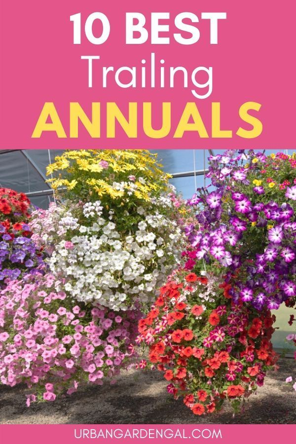10 Best Trailing Annual Flowers In 2020 Hanging Plants Outdoor Plants For Hanging Baskets Outdoor Flowers