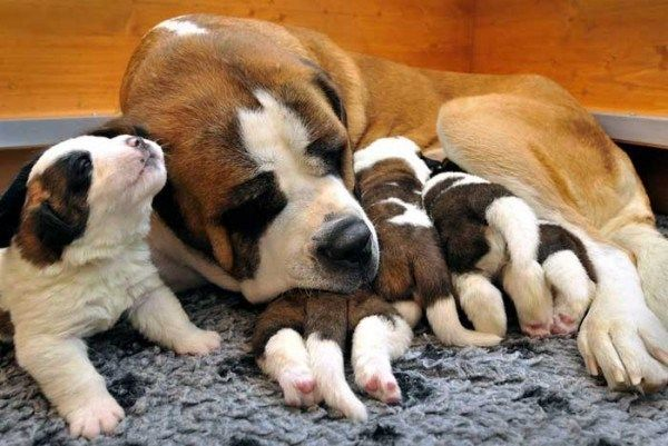 Saint Bernard Mum Dog with her Baby Puppies taking a nap