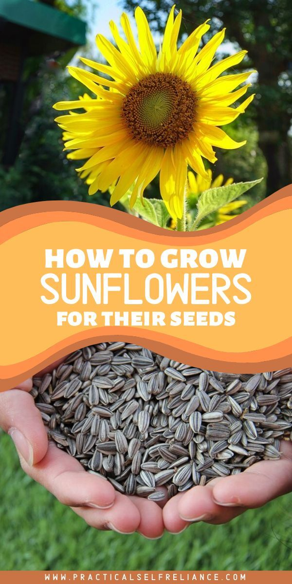 How To Grow Sunflowers For Seeds In 2020 Growing Sunflowers Planting Sunflower Seeds Harvesting Sunflower Seeds