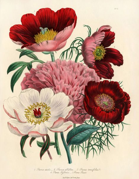Jane Loudon Botanical Prints 1840