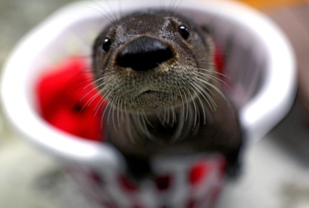 A baby otter that has been added to the Virginia Aquarium is shown in Virginia Beach. The male otter was adopted after it was found alone near St. George, S.C., apparently abandoned by his mother.- The Washington Post