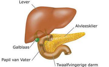 Hulp organen van de dunne darm: Lever; galblaas; alvleesklier; papil van Vater