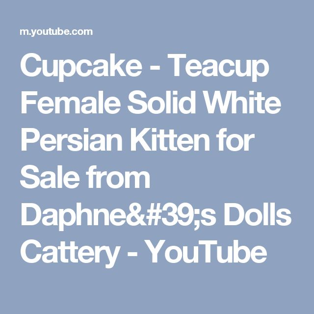 Cupcake - Teacup Female Solid White Persian Kitten for Sale from Daphne's Dolls Cattery - YouTube