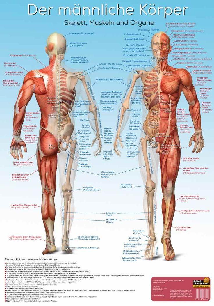 138 besten Menschliche Organe Bilder auf Pinterest | Anatomie ...