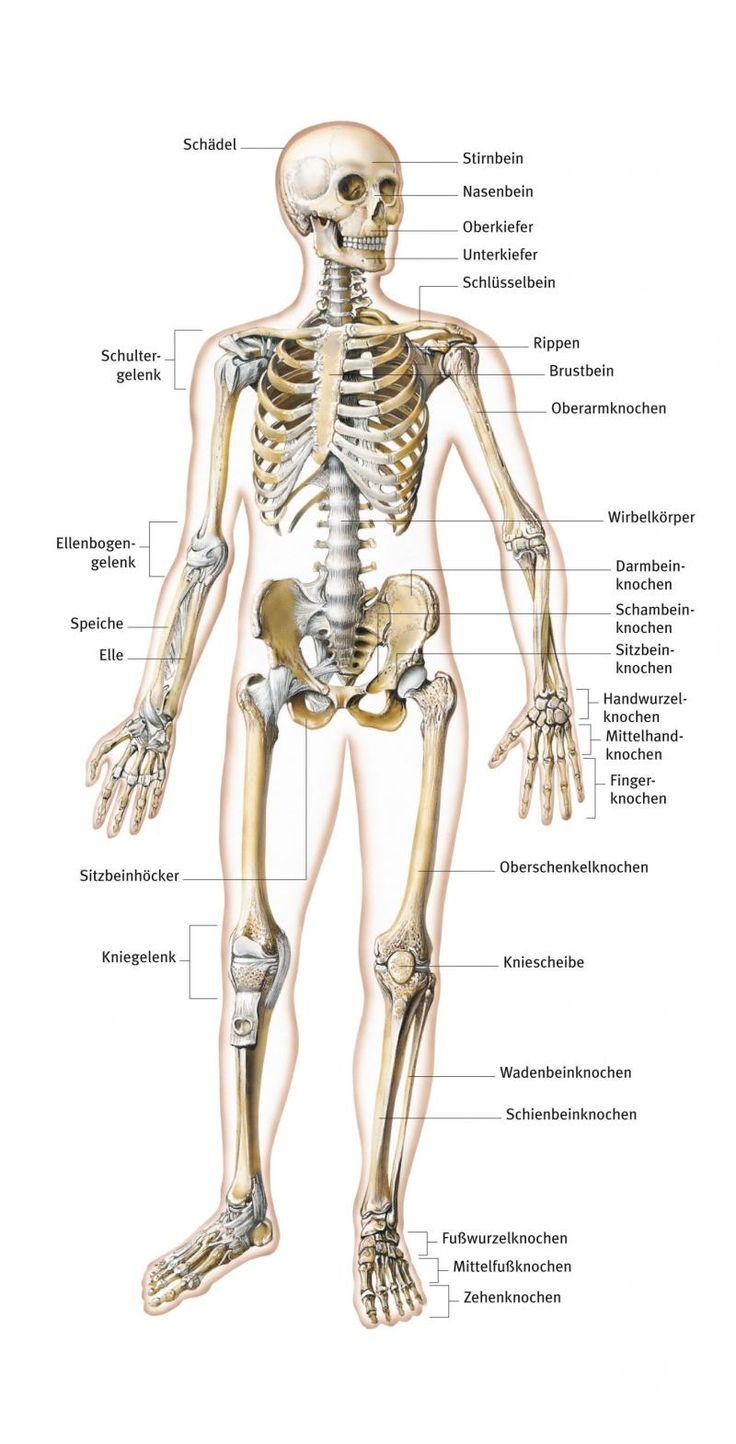 Skelett aus dem Lexikon - wissen.de | http://www.wissen.de/lexikon/skelett