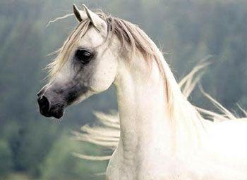 Beautiful Arabian Horses #thearabianhorse