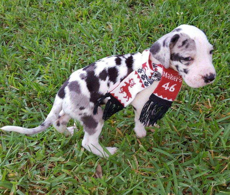 She Is The Sweetest Great Dane Puppy Great Dane Great Dane Puppy Great Dane Facts