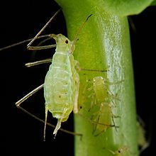 Aphid - Wikipedia, the free encyclopedia