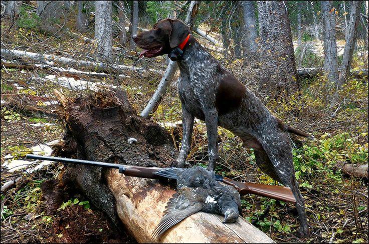 German Shorthair Dusky Grouse hunting