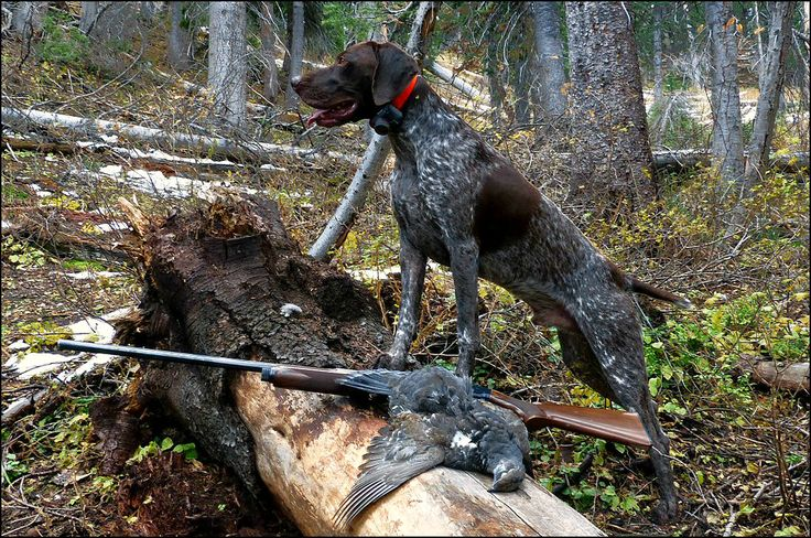 German Shorthair Dusky Grouse hunting