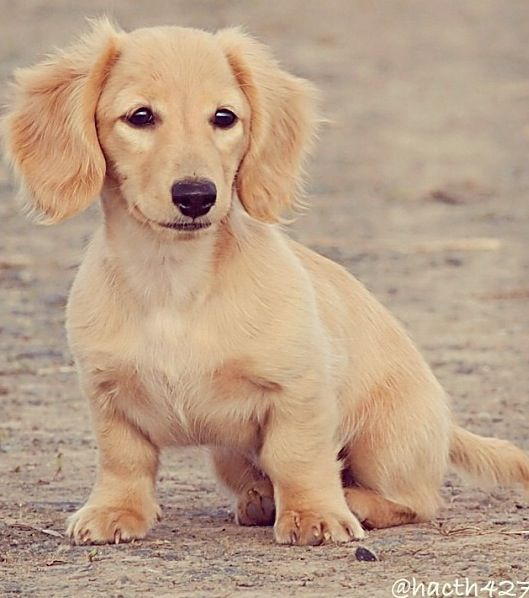 ❤ Beautiful, I've only ever seen one cream dachshund ever, and she's a patient at the hospital where I work :)