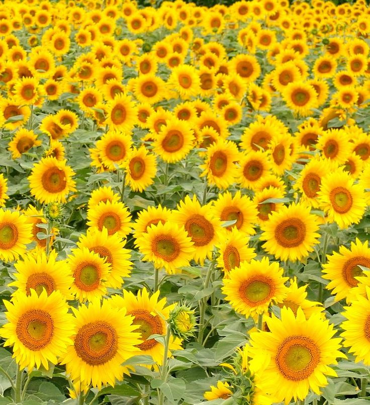 144 Best Flowers Images On Pinterest Sunflowers Bellis Perennis And Daisies