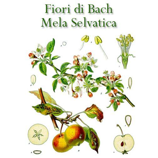 Purificare il corpo con il melo selvatico. Questo fiore di Bach è indicato per tutti coloro che vogliono fare pulizia del loro passato. Associato al colore blu profondo della pulizia e della freschezza. #bach #cromoterapia