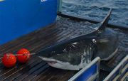 OCEARCH's tagged apex predator and the now famous @MaryLeeShark has been spotted just off the a few miles from Long Beach Island, according to the nonprofit's shark tracker.  Screw swimming in the ocean......16 ft and 3500 lbs: Mary Lee, the Great White Shark !