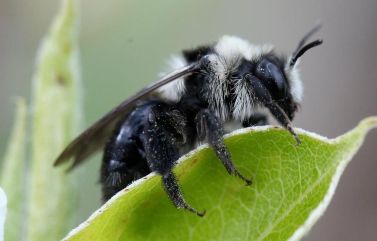 One of the UK's most stunning solitary bees - Andrena Cineraria (Ashy Mining Bee) The Snow Leopard of the insect world :)