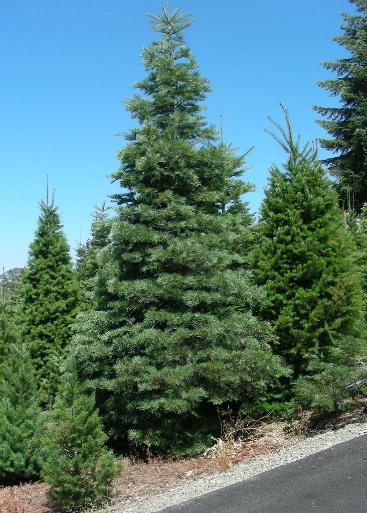 36 best Christmas Tree Species images on Pinterest | Christmas ...