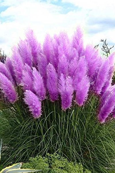 If you want a plant that'll make a statement, this grassis it. Not only are the blades a vibrant purple color (though they fad to cream over time), but it grows to betweenfive and 10 feet tall.  BUY THE SEEDS: $3,amazon.com