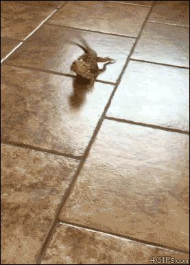 Bearded dragon peels out on tile floor. [video]