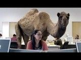 "Video ""Hump Day Camel"" by Geico.""Hump day"" by Geico - Who's happier than a Camel on Wednesday Hump Day. - Get Happy. Get Geico.""Hump Day"" also mean..."