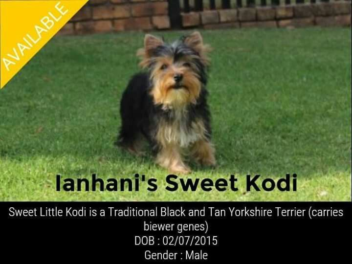 Traditional Black and Tan Yorkshire Terrier Male Available