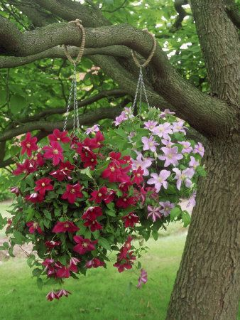 Clematis in hanging baskets. Clever use of space and very pretty. :). Love this!