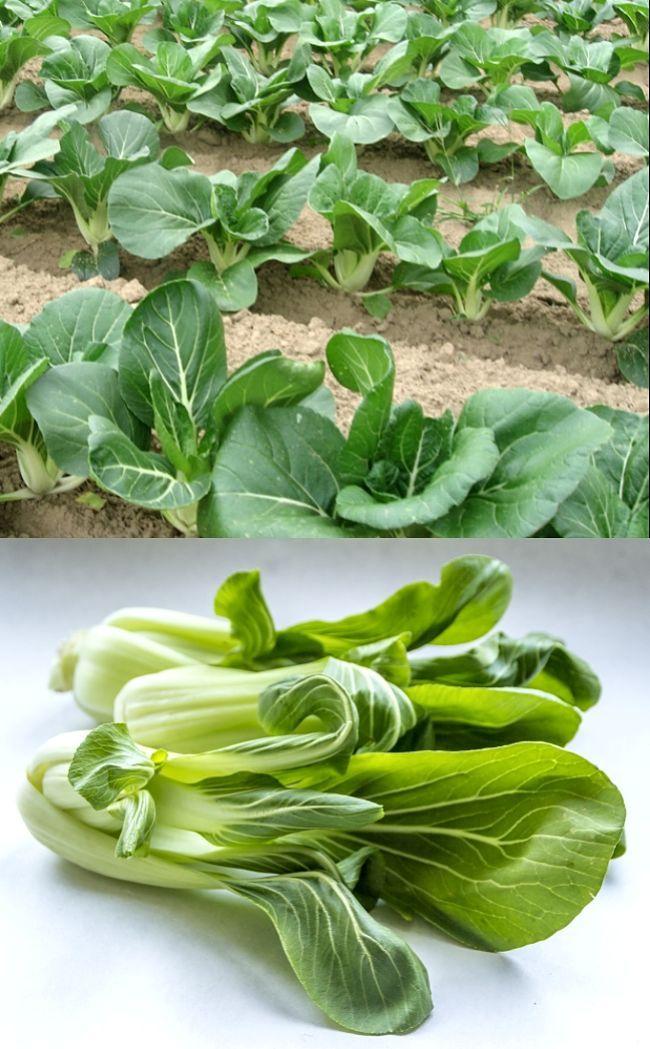 Planting And Growing Guide For Pak Choy Or Pak Choi Brassica Campestris Var Pekinensis Pak Choy Is The Cla Vegetable Planting Guide Pak Choy Cabbage Plant