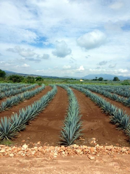 18 Best Images About Beautiful Agave On Pinterest Glow