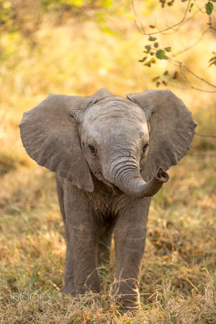Baby elephant in Botswana