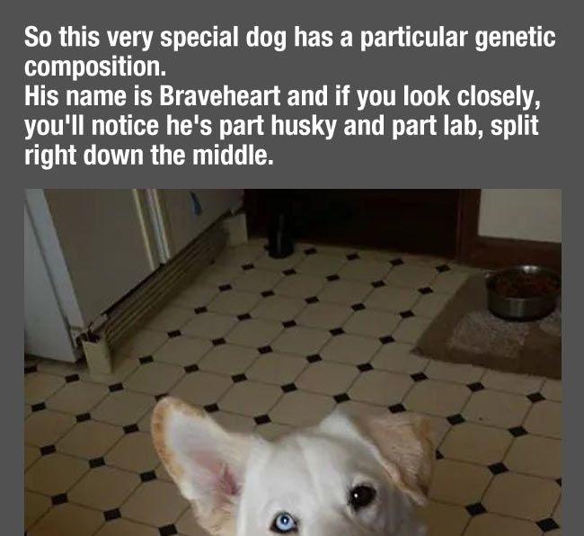cool-husky-golden-retriever-mix-dogs | Animals - The Pets ...