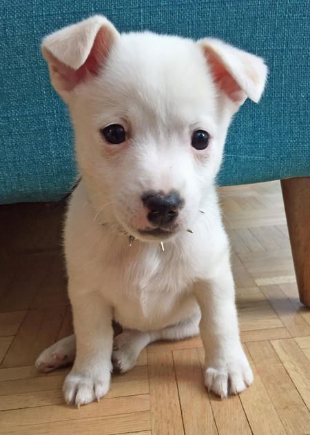 Ghost the Pomeranian / Jack Russell Terrier breed pup. He's fearless, feisty, and doesn't do anything halfway. He loves long naps, pig ears and checking out everyone and everything he passes on the street. No pinecone is safe on Ghost's watch. And he is so darn cute.