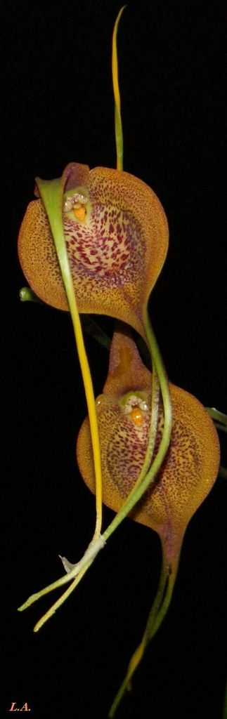 Masdevallia princeps - Flickr - Photo Sharing!