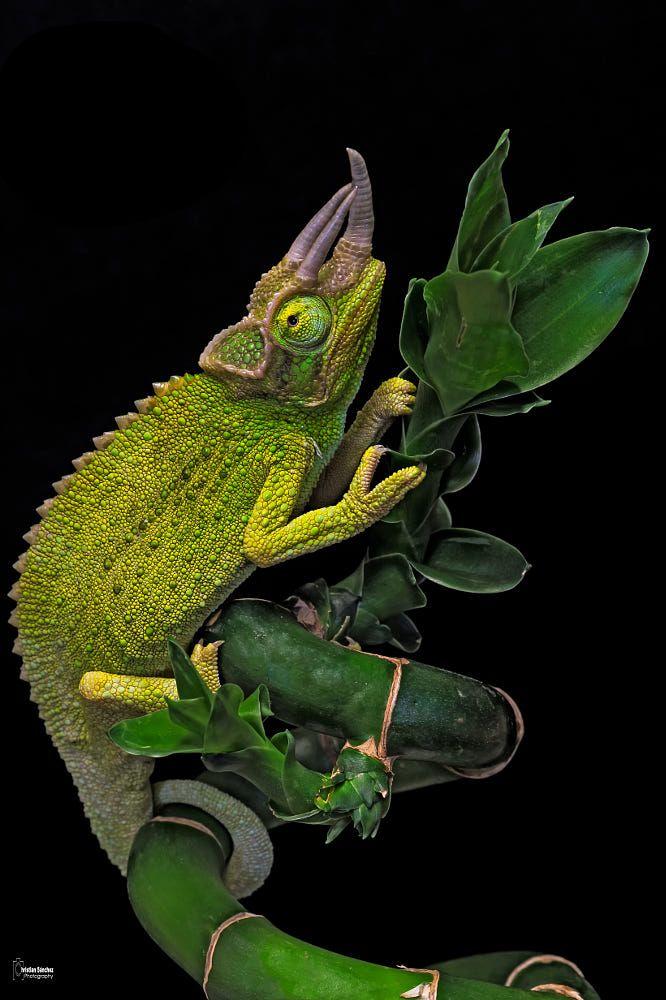 Jackson's chameleon by Christian Sanchez on 500px