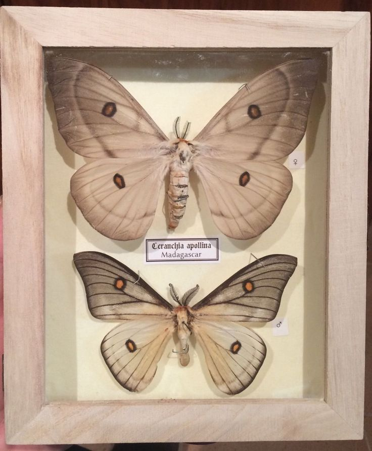 24 best decoración, cuadros, insectos, disecados images on Pinterest