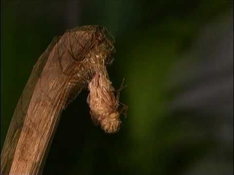 dragonfly lifecycle video