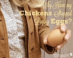 Why Aren't My Chickens Laying Eggs Anymore? 20 Reasons for a Drop in Egg Production | Fresh Eggs Daily®