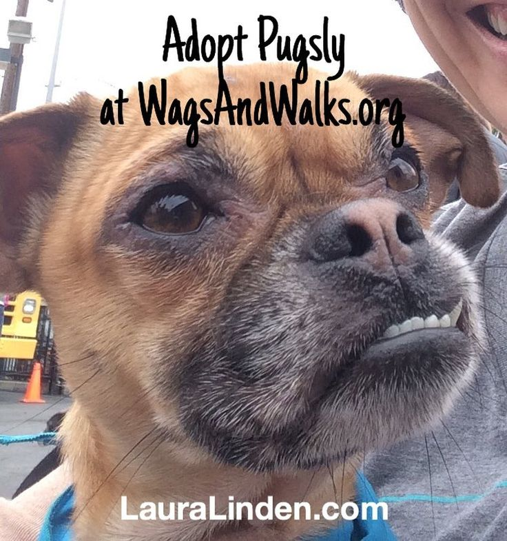 Pugsly and his underbite are so crazy cute. He's a 3 yr old pug-chihuahua mix. Great with kids and dogs but really a professional snuggler