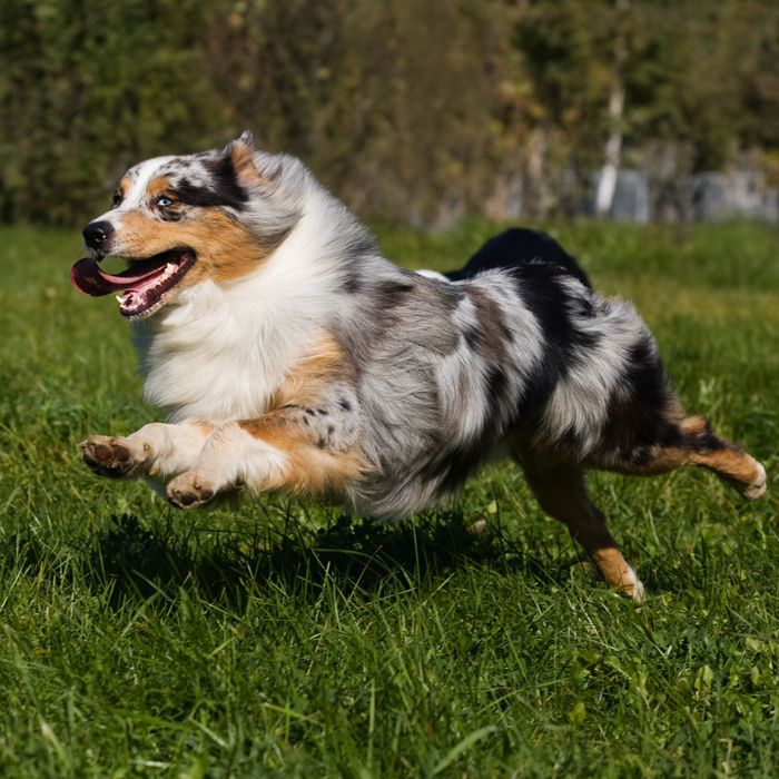 Outside Magazine: 20 Best Dog Breeds to Run With | 4. Australian Shepherd 5. German Shepherd!