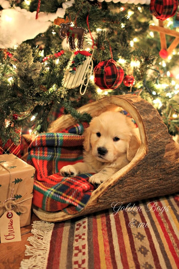 Golden Retriever puppy under Christmas tree in log basket with plaid blanket - www.goldenboysandme.com