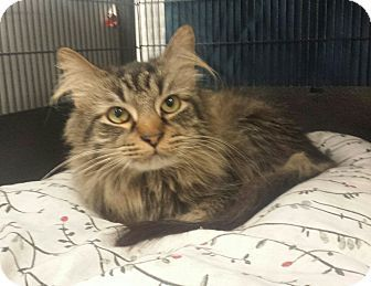 Cherry Hill, NJ - Domestic Longhair. Meet Buster, a cat for adoption. http://www.adoptapet.com/pet/15775129-cherry-hill-new-jersey-cat